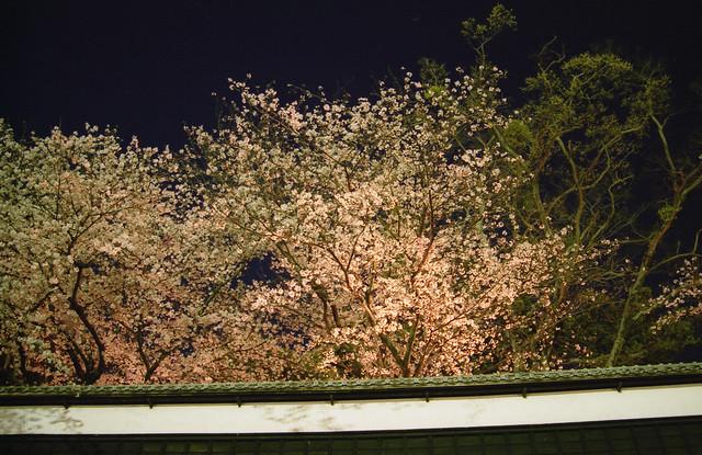 熊本城の夜桜のフリー写真素材