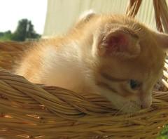 Kitten in a basket (Debi's kids (Here very little)) Tags: canon kitten feline basket tabby bobby orangewhite kissablekat bestofcats kittyschoice catmoments