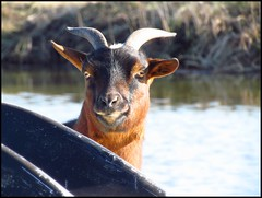 Hi there! (Ameliepie) Tags: winter water animal season farm goat february farmanimal 2011