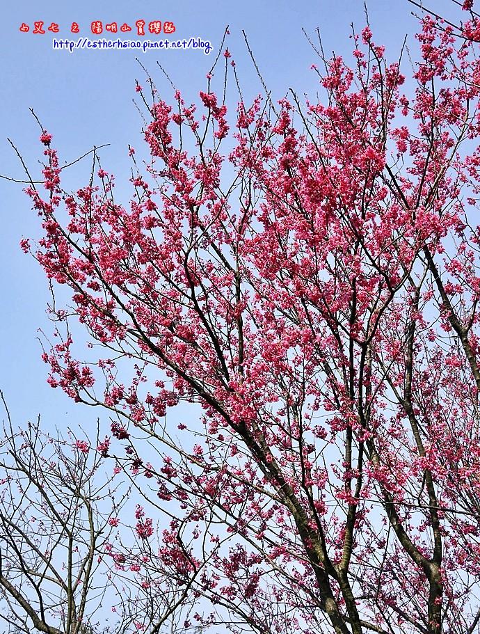 14 誤闖禁地拍下的櫻花
