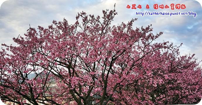 84 平菁街42巷櫻花樹