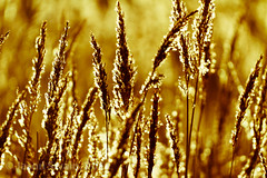 Fields of gold bokeh wednesday (s0ulsurfing) Tags: uk winter light england sunlight grass silhouette canon vintage river reeds island photography gold golden evening mood bokeh dusk sting atmosphere hills isleofwight 7d grasses backlit february yarmouth riverbank isle cliche wight backlighting shimmer yar yesteryear westwight fieldsofgold 2011 hbw s0ulsurfing riveryar jasonswain