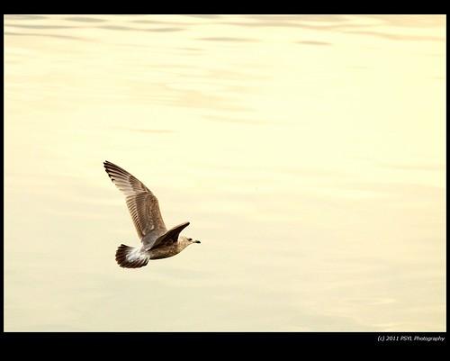 Unknown juvenile Gull (Larus spp.)