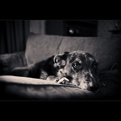 Lazy Day (Dkillock) Tags: dog david cute zeiss 35mm canon eos chair dof open angle bokeh mark wide bored naturallight wideangle canine jena full mc lazy ii carl frame ambient ddr 5d flektogon usm fullframe armchair ef mkii fedup wideopen f24 pestered killock 5dmarkii 5d2 carlzeissjenaddrmcflektogon35mmf24 5dmkii dkillock davidkillockphotography