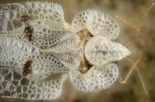 Sycamore Lace Bug