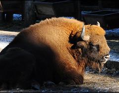 Ich glaub, ich bin schon etwas braun geworden in der Sonne (misanthrop10) Tags: bison wisent