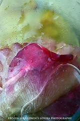 frozenLove055a (Edwin Loyola) Tags: flowers love ice rose frozen abstraction edwinloyola frozenlove