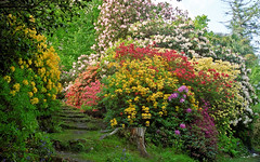 Leonardslee Gardens, West Sussex, England | Tranquil paths through woodlands filled with flowering azaleas and rhododendrons in Spring (9 of 23)
