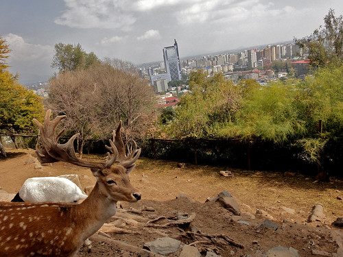 Deer and the City in Santiago