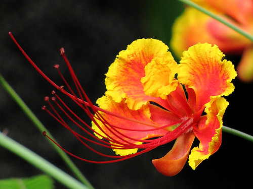 Mini Flamboyant vermelho (Caesalpinia pulcherrima)