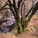 Highland-Tree