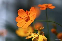 cosmos flower #19 (e.nhan) Tags: light flower nature closeup dof bokeh cosmos backlighting enhan