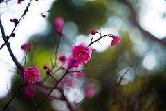 Bashful Pink (moaan) Tags: life leica digital 50mm dof blossom bokeh dr summicron utata february ume m9 latewinter waitingforspring japaneseapricot f20 2011 inlife leicasummicron50mmf20dr comeintoblossom leicam9 gettyimagesjapanq2