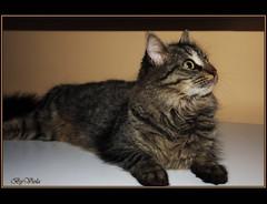 Lusy (Simply Viola) Tags: cats kitten felini gatti gattini