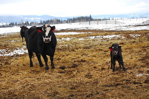 calving with keatts 081