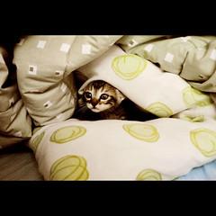 Curious (Thile Elissa) Tags: animal marie nikon mimi gato linda gata felino curious amo travesseiro filhote bicho curiosa pequena gatinha cobertas d3000 nikond3000 thileelissa