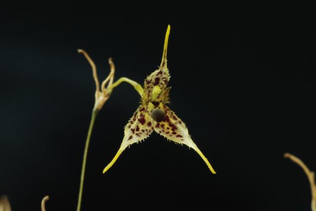 Pleurothallis alata