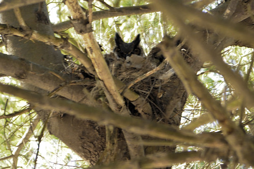 Great Horned Owl through the trees