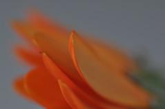 Gerbera 3 (deejays123) Tags: orange flower colour macro nikon gerbera