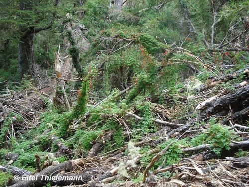 Diversas plantas de martillo de carpintero <i>Tropaeolum speciosum</i> trepando por ramas y troncos muertos en un claro del bosque de la Cordillera de Nahuelbuta.