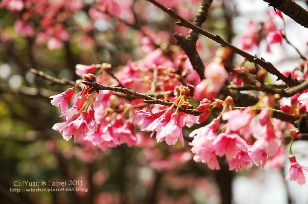 2011陽明山花季10.jpg