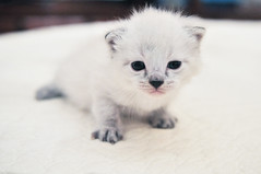 Meet Brioche (scarletd) Tags: white kitten blueeyes brioche gattino loudvoice