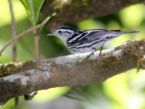 Black and White Warbler 20110313