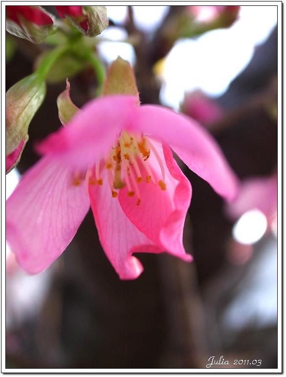 櫻花 (14)