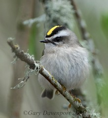 Golden-crowned Kinglet (Garebear400) Tags: wild bird nature wildlife nwr ridgefield goldencrowned kinglet
