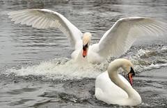 Swans (lienete) Tags: park bird waterbird