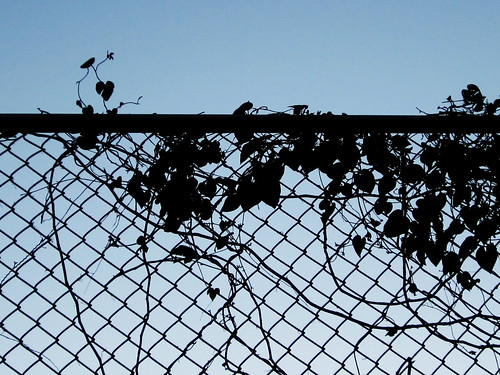 Silouette of Vines, Leaves and a Fence