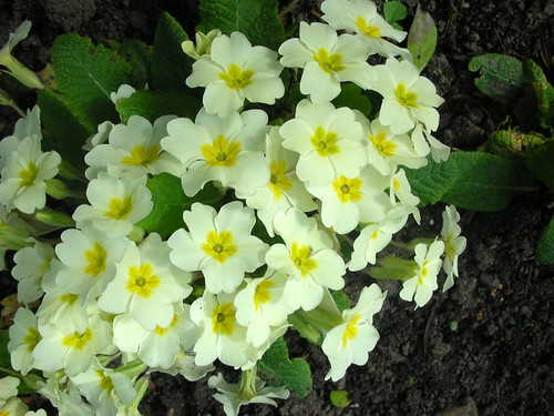 Primrose (Primula vulgaris) by Peter Orchard