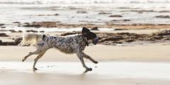 Fetch (GavinZ) Tags: california usa dog beach animal ball carlsbad fetch offsite sps