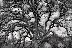 Old Tree - Black and White (Harold Davis) Tags: tree harolddavis 8legs