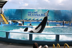 MIAMI SEAQUARIUM (sapienssolutions) Tags: sea usa water pool aquarium us agua unitedstates florida miami dolphin piscina lolita killer whale fl orca killerwhale estadosunidos golfinho seaquarium