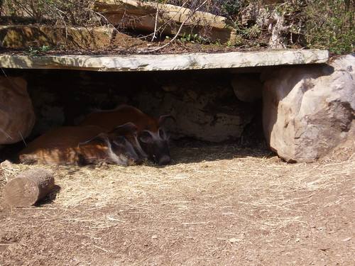 Red River Hogs, Nashville Zoo