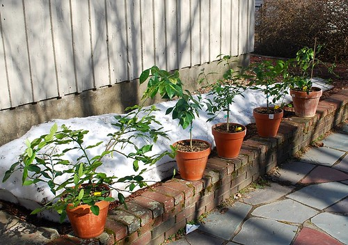 Recovering citrus trees