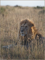 Deadly Serious.. (Joost N.) Tags: africa light wild vacation sun holiday male grass evening bush nikon focus king serious kenya african wildlife lion safari killer mara beast papa afrika nikkor predator lying joost kenia masai deadly leeuw safaris manes matira d700 notten
