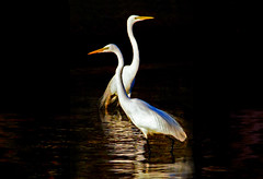egrets (artfilmusic) Tags: egrets