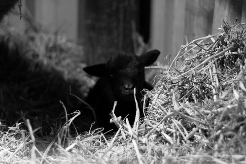 our black welsh mountain sheep began lambing on sunday night  only 12 hours