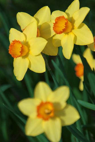 Yellow Daffodils by IronRodArt - Royce Bair