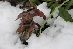 snow on hellebore