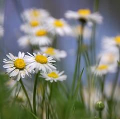 non vedevamo l'ora (Antonio_Trogu) Tags: flowers flores daisies fleurs bokeh fiori margaritas gänseblümchen marguerites margherite ヒナギク superstarthebest antoniotrogu