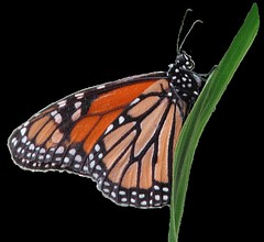 Wanderer or Monarch butterfly clipart, lge, 13cm texture (you get the picture) Tags: clipart monarchbutterfly wandererbutterfly freeclipart australianbutterflies butterflyclipart freeanimalclipart freeinsectclipart