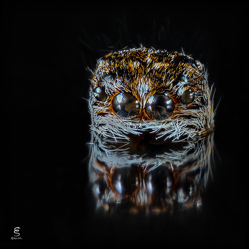 Esuvia di Philaeus chrysops ♀