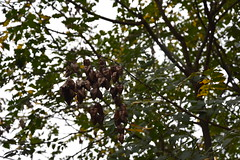 Seed Pods (Adventurer Dustin Holmes) Tags: 2016 dickersonparkzoo seedpods seeds seed tree nature