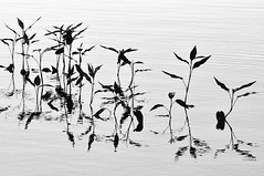 Water Doodle (Also http://www.ipernity.com/home/304321) Tags: blackandwhite bw plants abstract water monochrome wisconsin pond abstraction aquatic wi middleton strickerspond nikond90bw