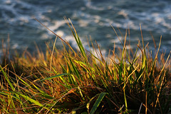 coastal grass (Roger_T) Tags: ocean california light sunset sea usa macro grass golden coast licht meer sonnenuntergang dof pacific bokeh gras pointreyes seashore eveninglight kalifornien kste goldenstate goldenlight pointreyesnationalseashore abendlicht 2011 goldig sonyalpha200