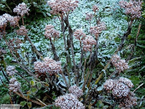 Sedum/Rubus calycinoides