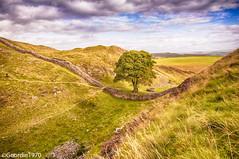 Sycamore Gap - Hadrians Wall (Geordie1970) Tags: nikon northumberland northeast romanwall hadrianswall sycamoregap thattree nikond90
